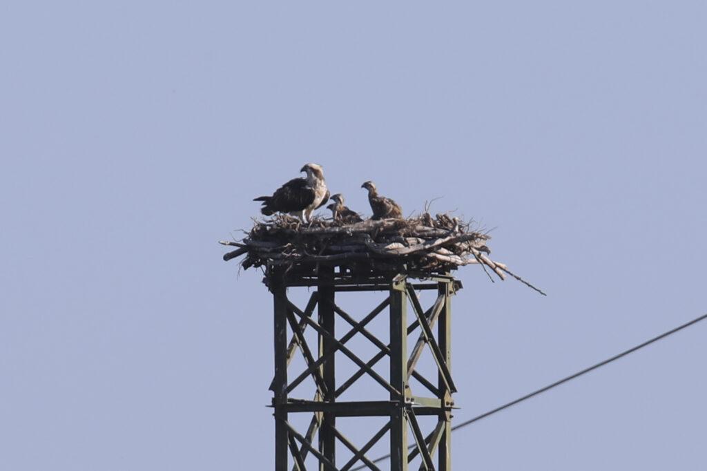 Falchi pescatori sul nido Oasi WWF Bottagone Piombino