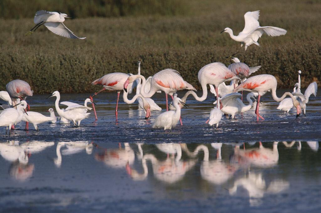 fenicotteri rosa e garzette Oasi WWF Bottagone Piombino