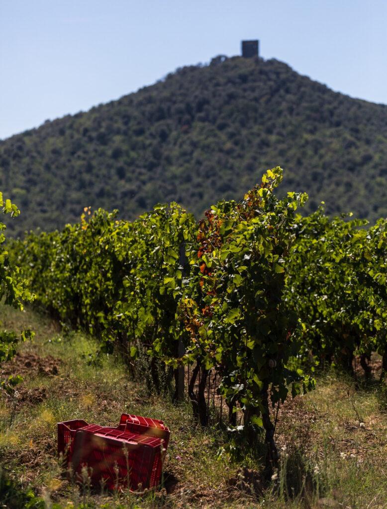 vino Sassicaia raccolta uva