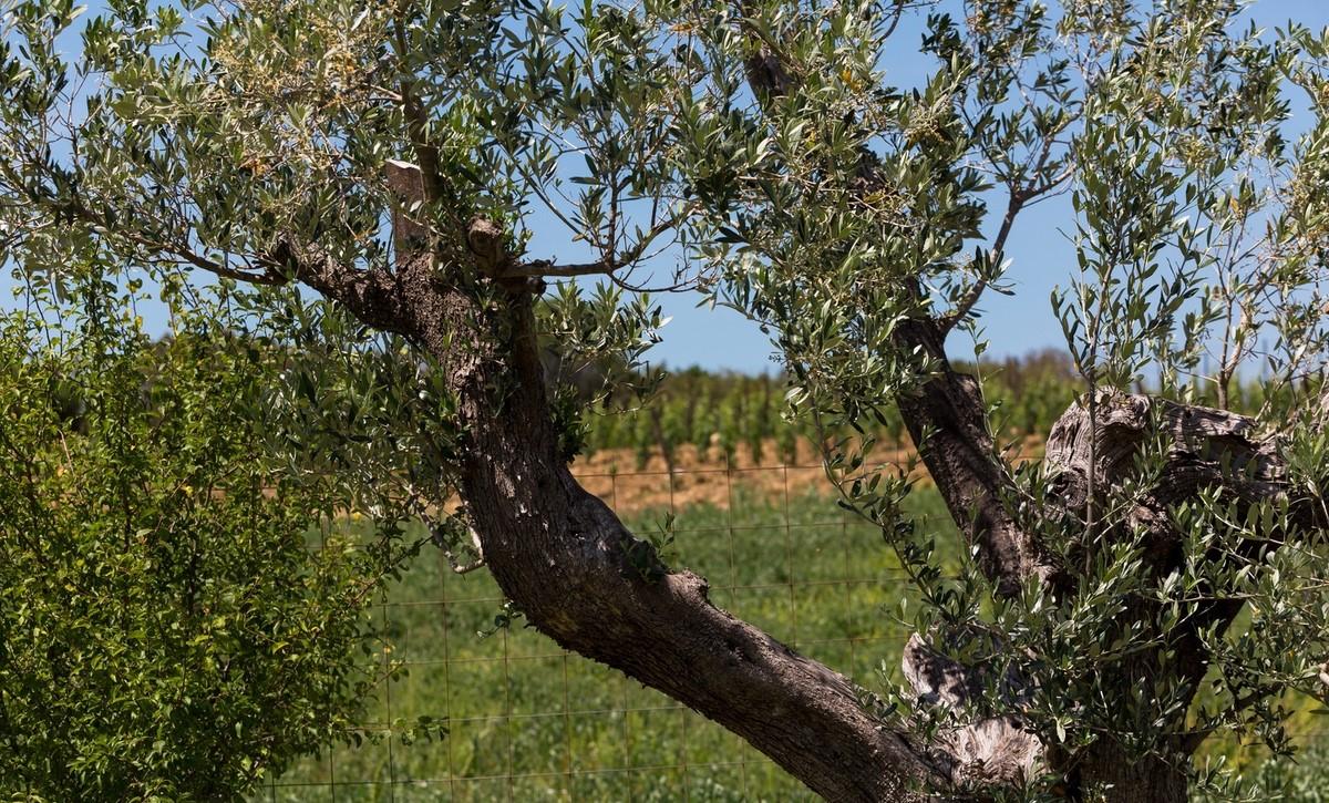 Olio d'oliva costa degli etruschi